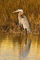 Great Blue Heron standing in Salt Marsh Fine Art Print