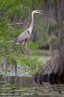 Great Blue Heron bird, Caddo Lake, Texas Fine Art Print