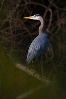 Great Blue Heron roosting, willow trees, Texas Fine Art Print