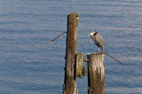 WA, Seattle, Great Blue Heron bird, Elliott Bay Fine Art Print