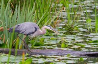 Great Blue Heron bird, Juanita Bay Wetland, Washington Fine Art Print