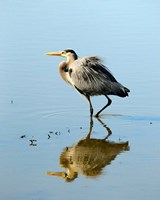 Great Blue Heron in Ridgefield NWR, Ridgefield, Washington Fine Art Print