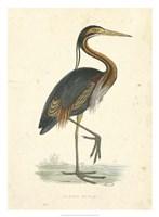 Vintage Purple Heron Fine Art Print
