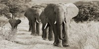 Herd of African Elephants, Kenya Fine Art Print