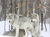 Grey wolves huddle together during a snowstorm, Quebec Fine Art Print