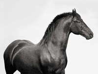 King Mamba, Stallion Fine Art Print