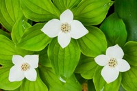 Bunchberry in Bloom on Monadnock Mountain, Lemington, Vermont Fine Art Print