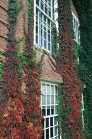 Hanover Ivy on Dartmouth College Building, New Hampshire Framed Print