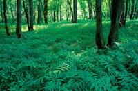Sensitive Ferns and Silver Maples, Floodplain Forest, Upper Merrimack River, New Hampshire Fine Art Print