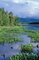 Pickerel Weed, Pontook Reservoir, Androscoggin River, New Hampshire Fine Art Print