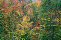 Fall in Northern Hardwood Forest, New Hampshire Fine Art Print