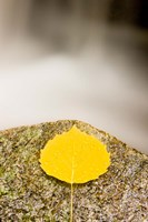 An aspen leaf next to a stream in a Forest in Grafton, New Hampshire Fine Art Print