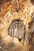 Eastern Screech Owl, Rye, New Hampshire Fine Art Print
