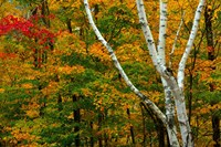 Autumn at Ripley Falls Trail, Crawford Notch SP, New Hampshire Fine Art Print