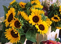 Market Sunflowers, Nice, France Fine Art Print