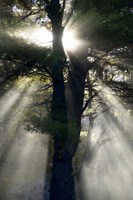 New England, New Hampshire, Sunlight Through Trees Fine Art Print