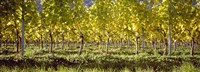 Vineyard, Barcelona, Spain Fine Art Print