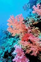 Colorful Sea Fans and other Corals, Fiji, Oceania Fine Art Print