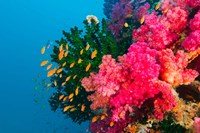 Multicolor Soft Corals, Coral Reef, Bligh Water Area, Viti Levu, Fiji Islands Fine Art Print