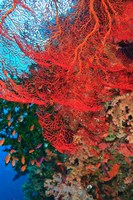 Gorgonian Sea Fan, Fairy Basslets fish, Fiji Fine Art Print
