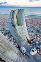 Driftwood on the shell-covered Long Beach in Stratford, Connecticut Fine Art Print