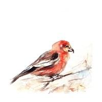 Red Breasted III Fine Art Print