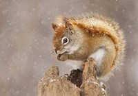 Squirrel in a Snow Storm Fine Art Print