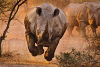 Rhino Learning To Fly Fine Art Print
