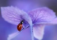 Ladybird On Purple Hydrangea Fine Art Print