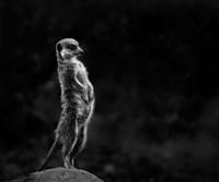 The Meerkat Fine Art Print