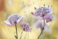 Astrantia Major Fine Art Print