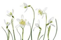 Spring Snowdrops Fine Art Print