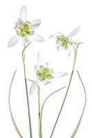 Galanthus Flore Pleno Fine Art Print