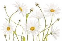 Ox Eye Daisies Fine Art Print