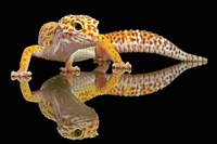 Leopard Gecko Fine Art Print