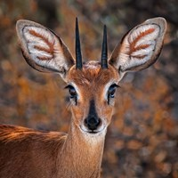 Steenbok, One Of The Smallest Antelope In The World Fine Art Print