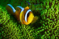Yellow Clownfish On Green Anemon Fine Art Print