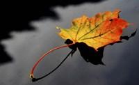 Maple Leaf Fine Art Print