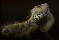 Iguana Profile Fine Art Print