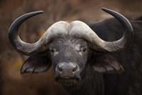 A Buffalo Portrait Fine Art Print