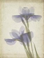 Parchment Flowers VIII Fine Art Print