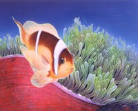 Clown Fish Fine Art Print