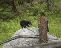Bear Cub On Rock Fine Art Print