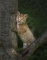Bobcat Kitten Poses Against Tree Trunk Fine Art Print