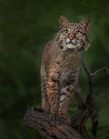 Bobcat Poses On Tree Branch 1 Fine Art Print