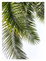 Palm Leaves Fine Art Print