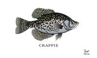 Crappie Fish Fine Art Print