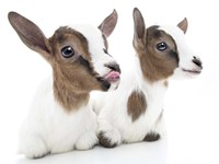 Goats 1 Fine Art Print