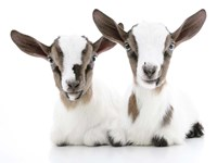 Goats 2 Fine Art Print
