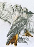 Redtailed Hawk Fine Art Print